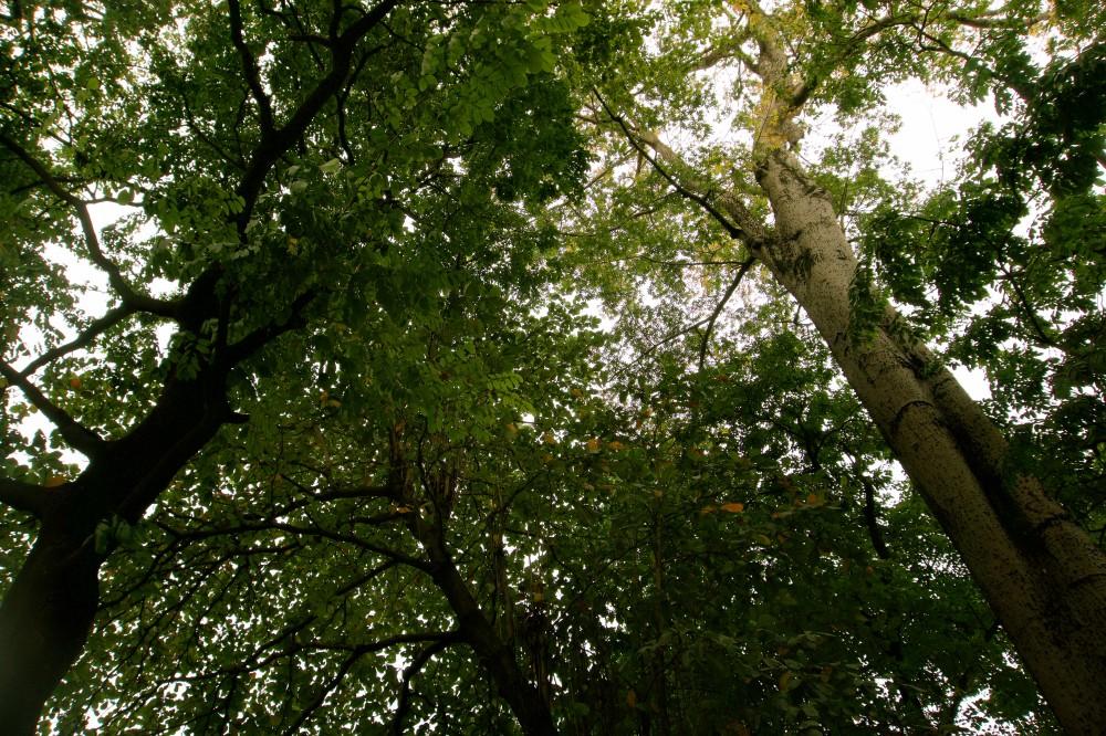 poto trees